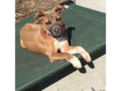 Adopt Betsy a Tricolor (Tan/Brown & Black & White) American Staffordshire