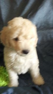Goldendoodle (Miniature) PUPPY FOR SALE ADN-81728 - MINI GOLDENDOODLE PUPPIES toy to med size