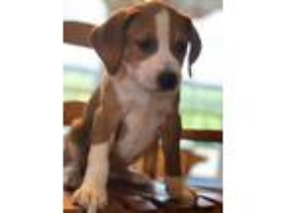 Adopt Madelyn's Pup 2: not at the shelter a Beagle