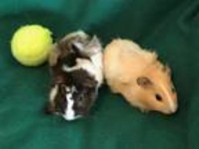 Adopt Rocket & Groot a Brown or Chocolate Guinea Pig (short coat) small animal
