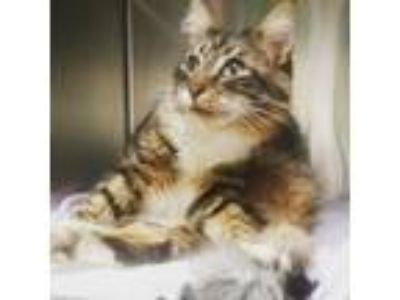 Adopt Oakie a Maine Coon