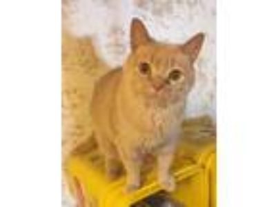 Adopt Buffy a Orange or Red Tabby American Bobtail cat in Rochester