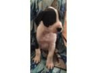Adopt Tampa a Black - with White Labrador Retriever / Boxer dog in Pekin