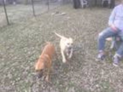Adopt Austin a Tan/Yellow/Fawn - with Black Retriever (Unknown Type) / Mixed dog