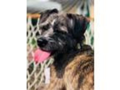 Adopt Peggy Sue - foster to adopt available a Terrier, Schnauzer