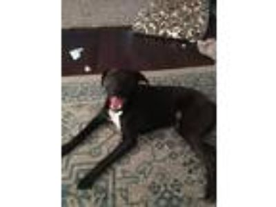 Adopt Axel a Black - with White Terrier (Unknown Type, Medium) / Mixed dog in