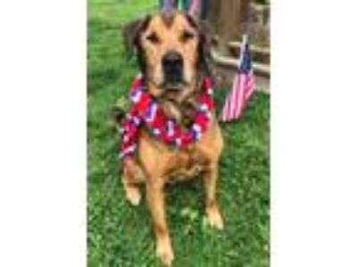 Adopt Carmone a Tan/Yellow/Fawn Rottweiler / Mixed dog in South Abington