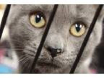 Adopt Arya a Gray or Blue (Mostly) Russian Blue / Mixed (short coat) cat in Horn