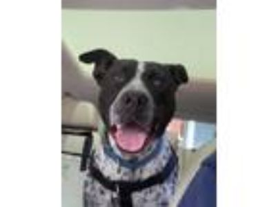 Adopt Toby a Cattle Dog, Terrier