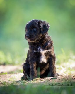 Poodle (Miniature)-Miniature American Shepherd Mix PUPPY FOR SALE ADN-52210 - Miniature Aussiedoodle