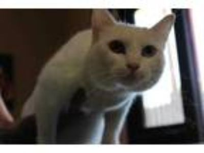 Adopt August a White Domestic Shorthair / Domestic Shorthair / Mixed cat in Palm