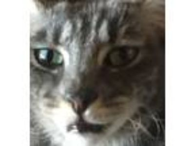 Adopt Gracie a Gray or Blue (Mostly) American Shorthair (short coat) cat in Los