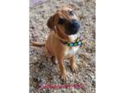Adopt Schneewittchen a Tan/Yellow/Fawn Boxer / Mixed dog in Phenix City