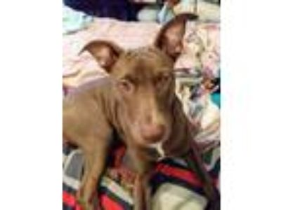 Adopt Puppers a Brown/Chocolate Labrador Retriever / American Pit Bull Terrier