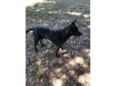 Adopt Bella a Black - with White Labrador Retriever / Terrier (Unknown Type