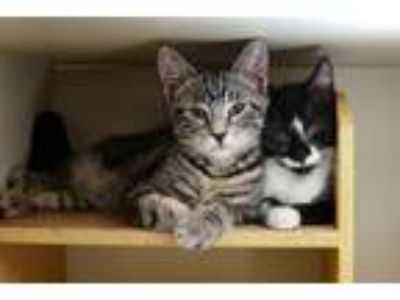 Adopt Heidi and Hunter a Tiger Striped Domestic Shorthair (short coat) cat in