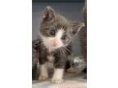 Adopt Jude a Spotted Tabby/Leopard Spotted Domestic Shorthair cat in
