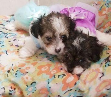 Biewer Yorkie PUPPY FOR SALE ADN-105576 - Biewer Yorkshire Terrier
