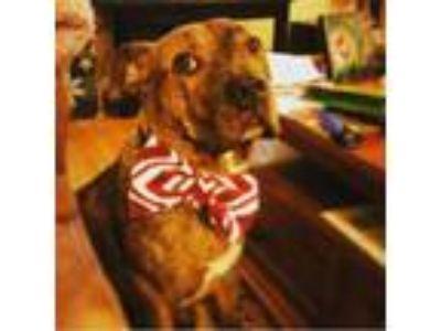 Adopt Mr Chomp a Pit Bull Terrier