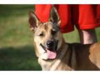 Adopt MICKEY a Brown/Chocolate - with Black German Shepherd Dog / Mixed dog in
