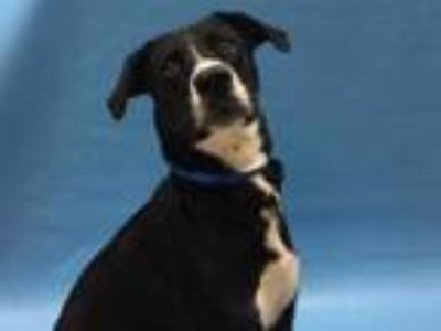 Adopt Walker Texas Ranger a Black Labrador Retriever / Mixed dog in Coon Rapids