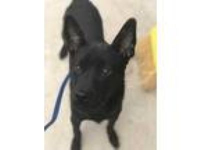 Adopt 41893724 a Black Terrier (Unknown Type, Small) / Mixed dog in Fort Worth