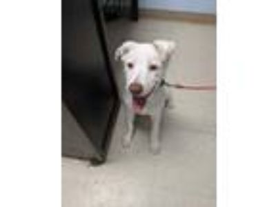 Adopt Winterfell a White Labrador Retriever / Mixed dog in Waldorf