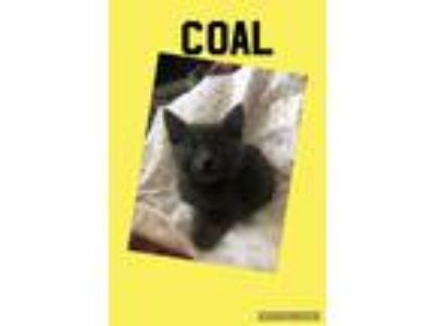 Adopt Coal a Gray or Blue Domestic Shorthair (short coat) cat in Toms River