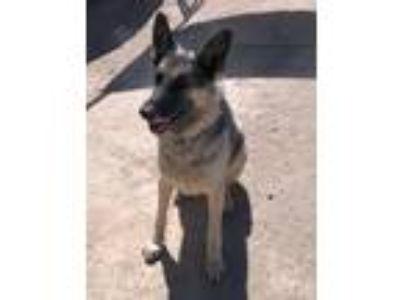 Adopt Jaxson a Black - with Tan, Yellow or Fawn German Shepherd Dog / Mixed dog