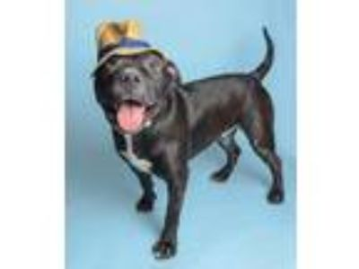 Adopt Zeus a Black Shar Pei / American Pit Bull Terrier / Mixed dog in