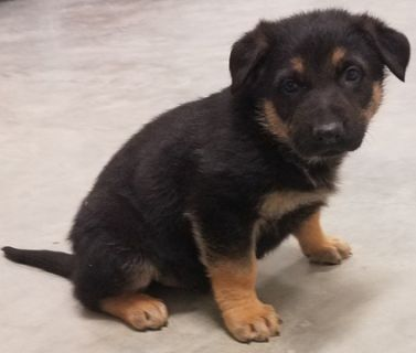 German Shepherd Dog PUPPY FOR SALE ADN-113725 - Puppies for Sale