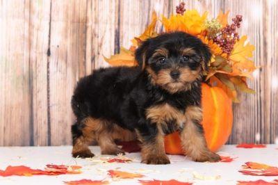 Yorkshire Terrier PUPPY FOR SALE ADN-98778 - Dexter Appealing Male Yorkie Puppy