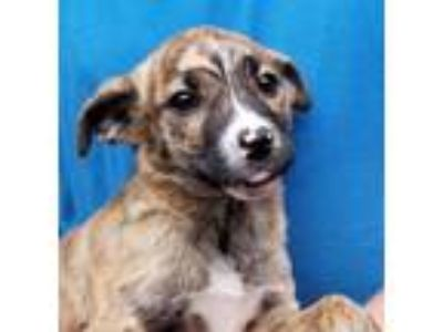 Adopt Baby Doll a Catahoula Leopard Dog
