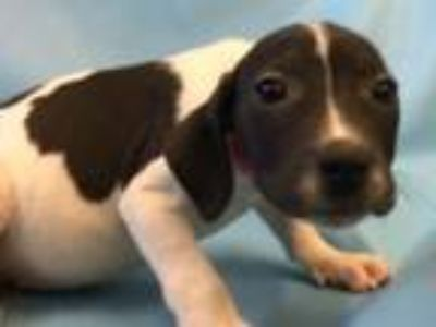 Adopt Abby a Hound, Mixed Breed