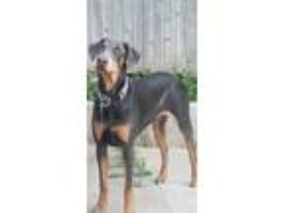 Adopt Julio a Black - with Tan, Yellow or Fawn Doberman Pinscher dog in