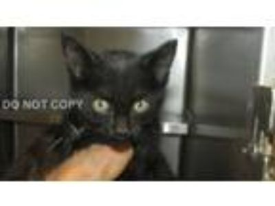 Adopt Nevaeh a Domestic Short Hair