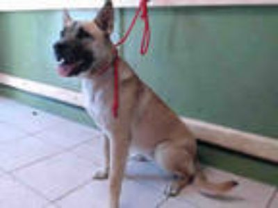 Adopt BELLA a Brown/Chocolate - with Tan German Shepherd Dog / Mixed dog in