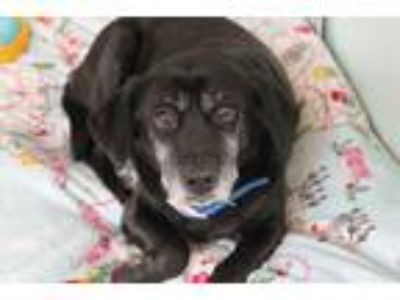 Adopt Betty Bee a Black - with White Labrador Retriever / Beagle / Mixed dog in