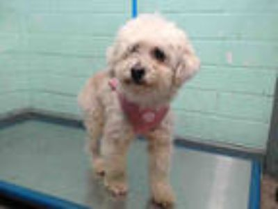 Adopt MISSY a White Poodle (Miniature) / Mixed dog in Gardena, CA (25346179)