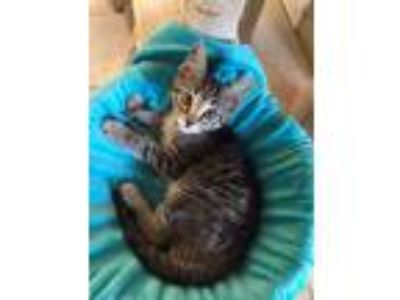 Adopt Scout a Domestic Short Hair, Tiger