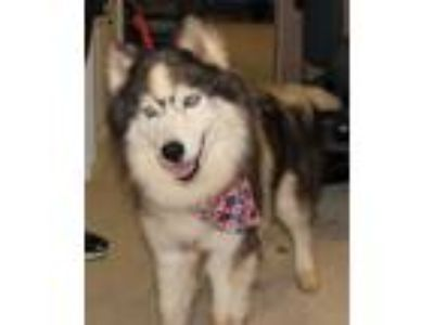 Adopt Balto a Gray/Blue/Silver/Salt & Pepper Husky / Mixed dog in Spartanburg