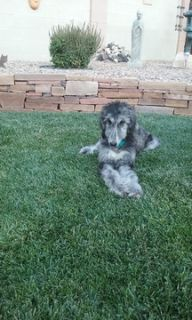 Afghan Hound PUPPY FOR SALE ADN-96067 - Full Breed Afghan Pup for Sale to hound lover