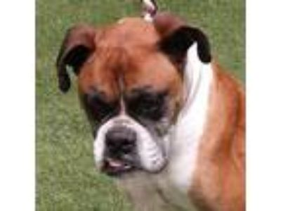 Adopt Ivy a Tan/Yellow/Fawn - with White Boxer / Mixed dog in Encino