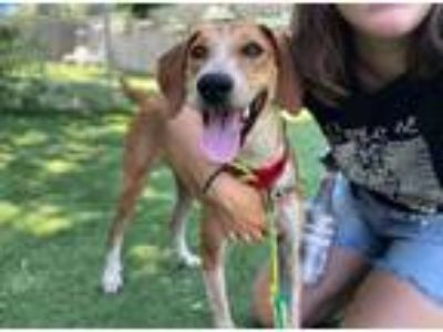 Adopt Lacey a Hound, Mixed Breed