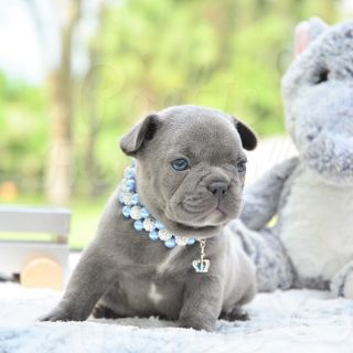 French Bulldog PUPPY FOR SALE ADN-98925 - Blue Male Percy