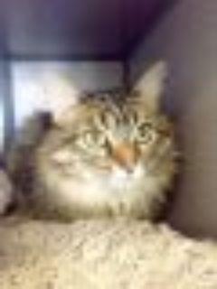 Xena Domestic Long Hair - Tabby Cat