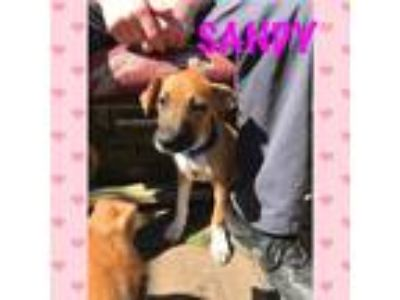 Adopt Sandy a Boxer / Mixed dog in Jenkintown, PA (25311195)