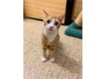 Adopt Flynn a Domestic Short Hair