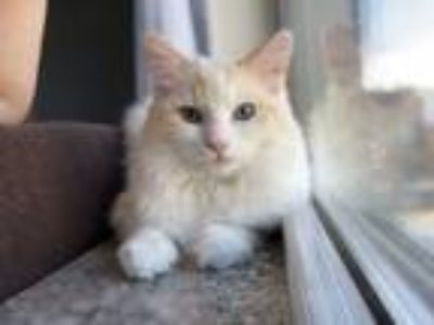 Adopt Peeshu a Cream or Ivory (Mostly) Ragdoll cat in Lombard, IL (25909187)