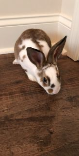 Mini Rex Bunny with All Brand New Supplies